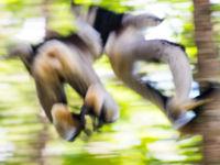 Saut d'obstacles pour ces indris. © Billy Herman