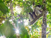 Beaucoup de lémuriens sont grégaires et aiment se prélasser ensemble sur les branches les plus hautes. © Billy Herman