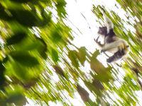 Une photo abstraite d'un indri traversant la forêt à toute allure. © Billy Herman