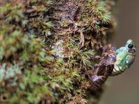 Une cicade émerge de son coccon. © Billy Herman