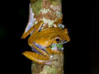 Madagascar abrite des centaines d'amphibiens endémiques. © Billy Herman