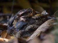 Un Madagascar Nightjar sur son nid, avec un jeune en-dessous. © Billy Herman