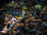 Madagascar nightjar, vous le voyez ? © Billy Herman