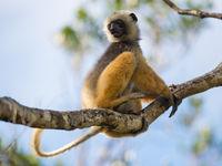 Les lémuriens sont toujours en alerte pour prévenir d'un éventuel passage de fossa ! © Billy Herman