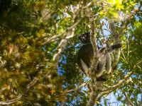 Sous la surveillance de l'indri... © Billy Herman