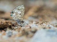 Un azuré en recherche de nourriture. © Billy Herman