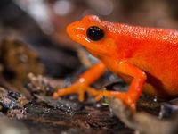 Sa couleur en dit long... Cette espèce est toxique. © Billy Herman