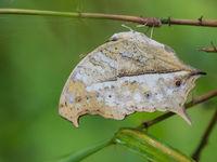 En forêt, nous croisons de spectaculaires papillons. © Billy Herman