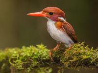 Le Madagascar Pygmy Kingfisher, fait partie plus mignons martins-pêcheurs.  © Billy Herman