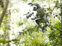 L'indri, un des lémuriens qui rend Madagascar si connue. © Samuel De Rycke
