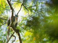Le Crested Coua est un adepte de la canopée. © Samuel De Rycke