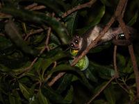 Les Dwarf Lemurs comme celui-ci se nourrissent principalement de fruits qu'ils récoltent de nuit. © Samuel De Rycke