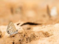 Cet azuré recherche quelques minéraux. © Samuel De Rycke