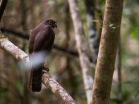 Madagascar Sparrowhawk, le prédateur de nombreux passereaux forestiers.  © Samuel De Rycke