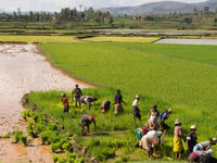 Les rizières se sont développées en masse après le développement de l'irigation. © Samuel De Rycke