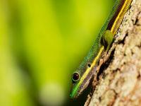 L'un des gekkos emblématiques de Madagascar. © Samuel De Rycke