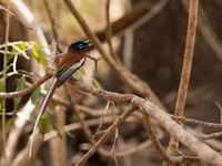 Madagascar paradise flycatcher, un autre superbe endémique. © Samuel De Rycke
