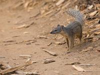 Une Narrow-striped Mongoose à la recherche de son repas. © Samuel De Rycke