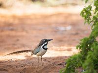 Long-tailed Ground-roller, l'un de nos favoris et également un endémique de l'île. © Samuel De Rycke