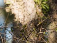 Dark Newtonia, une espèces endémique de Madagascar. © Samuel De Rycke