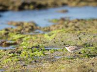 Un White-fronted Plover flâne sur la plage. © Samuel De Rycke