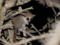 Madagascar est également le pays des tarsiers et autres cousins. © Samuel De Rycke