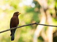 Le Broad-billed Roller, un oiseau migrateur en provenance d'Afrique. © Samuel De Rycke