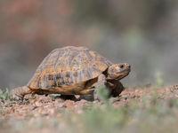 Een Moorse landschildpad steekt de baan over. © Billy Herman