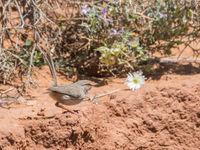 Maquiszangers zijn als winterkoningen, alleen kozen ze de schaarse woestijnvegetatie als leefgebied. © Billy Herman