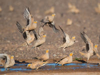 Een groepje sahelzandhoenen stijgt op. © Billy Herman