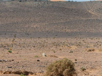 Een witvleugelleeuwerik voert z'n dansvluchtje uit vanop een begroeide heuvel. © Billy Herman