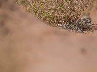 Zie je ze? Egyptische nachtzwaluwen! © Billy Herman