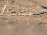Een van de franjeteenhagedissen, aangepast aan een hete ondergrond. © Billy Herman