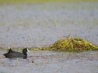 De knobbelmeerkoet nabij het nest, wat bestaat uit niet meer dan een hoop gras opgestapeld tot een handig vlot. © Billy Herman