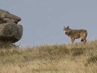 De nombreux mammifères fréquentent les steppes de Mongolie © voyages STARLING