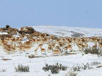 Antilopes Saïga © voyages STARLING