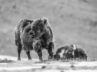 Een moeder treurt om haar kalf, pas gedood door een sneeuwluipaard. © Billy Herman