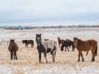 De paarden zijn bestand tegen enorm koude temperaturen. © Billy Herman