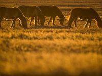 Chevaux dans les steppes mongoles © Billy Herman