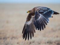 Un jeune aigle des steppes au décollage © Billy Herman