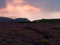 De struikhei kleurt magisch tijdens de paarse avondschemer. © Hans Debruyne