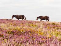 Exmoor pony's kuieren door de heide. © Hans Debruyne