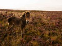 Een Exmoor pony komt ons begroeten. © Hans Debruyne
