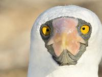 Een endeem van de eilandenarchipel en nauw verwant aan de maskergent, is deze Nazca booby. © Yves Adams