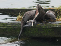 Noord-Amerikaanse otters zijn vrij algemeen, je ziet ze op piertjes en strekdammen. © Joachim Bertrands