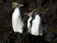Northern rockhoppers, een van de soorten die we op Tristan da Cunha hopen te zien. © Oceanwide Expeditions / STARLING reizen