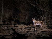 Onwaarschijnlijk... een ontmoeting met een wilde Euraziatische lynx in Oost-Polen. © Pieter-Jan D'Hondt