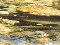 In de late zomer begint de massale zalmentrek, waarbij een vijftal soorten de rivieren op zwemmen. © Joachim Bertrands