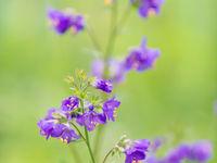 La polémoine bleue est une superbe plante vivant dans les tournières acides © Billy Herman