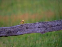 Un bruant jaune chante à tue-tête depuis une barrière en bois